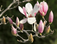 Blooming magnolia (ᙢᗩᖇᓰᗩ ☼ Xᕮᘉ〇Ụ) Tags: hellas greece griechenland blumen flowers magnolia blooms blüte westernpeloponnese westpeloponnes mediterranean mittelmeer moments sunlight sonnenlicht february februar ελλαδα στιγμεσ μεσογειοσ δυτικηπελοποννησοσ λουλουδια φωσηλιου μαγνολια magnolie nature natur plant pflanze flora afternoon nachmittags details colors farben pinkmagnolia rosamagnolie μανωλια μανολια ανθημαγνολιασ ανθημανολιασ outdoor branch zweig physis