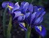 Blue Harmony (San Francisco Gal) Tags: irisreticulata blueharmony dutchiris flower fleur bloom blossom macro two duet pair ngc npc coth5