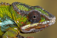 Panther Chameleon, CaptiveLight, Ringwood, Hampshire, UK