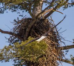 Heading For The Nest (John Kocijanski) Tags: eagle baldeagle nest nature wildlife bird animal canon70300mmllens canon7d tree birdofprey
