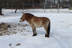 IMG_4070 (clare_and_ben) Tags: illinois brookfieldzoo 2018 brookfield zoo chicagozoologicalsociety animal horse przewalskishorse