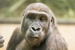 2018-02-20-12h55m34.BL7R0068 (A.J. Haverkamp) Tags: canonef100400mmf4556lisiiusmlens douli amsterdam noordholland netherlands zoo dierentuin httpwwwartisnl artis thenetherlands gorilla pobamsterdamthenetherlands dob27022012 nl