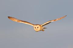 Barn Owl (drbut) Tags: barnowl tytoalba birdofprey bird birds avian owls nature wildlife canonef500f4lisusm