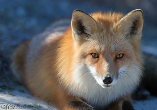 Red Fox (Full Frame) - Explored