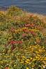Dudleya, San Luis Obispo Co, CA (RonParsonsflowershots) Tags: ca dudleya sanluisobispoco
