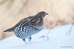 Ruffed Grouse (Earl Reinink) Tags: bird animal wildlife winter ontario canada earl reinink earlreinink feathers gamebird grouse ruffedgrouse snow idhaadtdza
