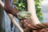 Whites Tree Frog (ToddLahman) Tags: whitestreefrog nairobistation sandiegozoosafaripark safaripark canon7dmkii canon canon50mm 50mm nifty50 portrait closeup escondido eyelock beautiful