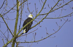 A Bane... (robinlamb1) Tags: nature outdoor animal bird eagle baldeagle haliaeetusleucocephalus regalsymbol aldergrove cottonwood tree bluesky raptor topraptor