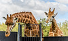 Rothschild Giraffes (Merrillie) Tags: rothschildgiraffe twoofakind neck wildlife giraffa animals fauna zoo giraffe animal