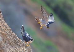 Peregrine falcon pair (charlescpan) Tags: