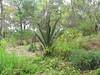 Jurassic Palm at Kings Park and Botanic Garden -- Perth, WA, January 14, 2018 (baseballoogie) Tags: 011418 baseball18 canonpowershotsx30is perth wa westernaustralia australia kingsparkandbotanicalgarden kingspark park