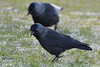 Jackdaws Pair. (stonefaction) Tags: jackdaw birds nature wildlife fife st andrews west sands scotland