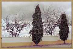Pavia Winter Trees - Art Week Gallery Theme (Daniel Arrhakis) Tags: mora pavia portugal cupressussempervirens alentejo