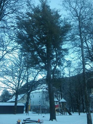Pinus strobus 20180118_160342