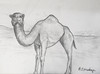 Mom's Camel #1 (BKHagar *Kim*) Tags: bkhagar mom moms camel sketch pencil drawing art artwork animal hump bw