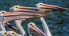 D71_9883.jpg (David Hamments) Tags: pelicanfeeding theentrance nsw fantasticnature