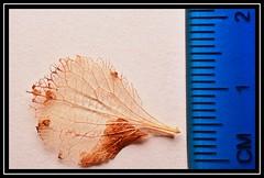"SCALE of ""Skeletal Highways & Byways..."" -- MACRO MONDAYS - 5.2.18 - ""Monochrome"" (NikonShutterBug1) Tags: macromondays nikond7100 oshiro60mmsupermacro leaf foliage winter scale"
