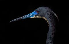 Mating Colors (Ania Tuzel Photography) Tags: tricoloredheron wildlife florida everglades blackbackground portrait bird 400mm matingcolors breeding blue floridawetlands
