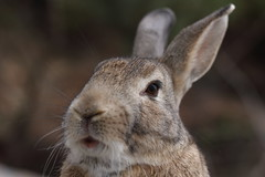 20180106_IMG_6368 (NAMARA EXPRESS) Tags: animal rabbit eye face okuno island cloudy daytime winter outdoor color okunoisland kasahara hiroshima japan canon eos 7d sigma 50mm f14 dg hsm art namaraexp