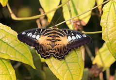 WISLEY SIX (gazza294) Tags: rhswisley rhs butterfly butterflies butterflyconservation butterfliesoftheworld lepidoptera flicker flickr flckr flkr flickrexplore gazza294 garymargetts