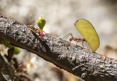 leaf cutter ants (marianna_a.) Tags: p1690441 ant leafcutter strong tiny macro costarica