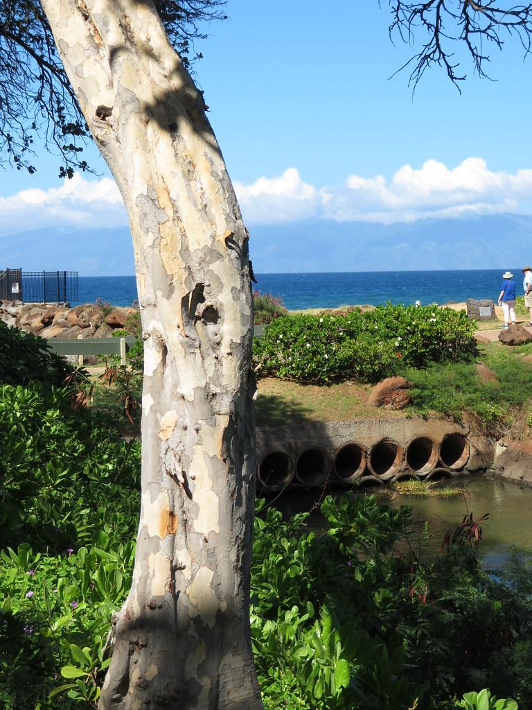 starr-180129-1738-Coccoloba_uvifera-trunk_peeling_bark-Kaanapali_Beach_Walk-Maui