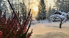 Midwinter Morning (Nyllet) Tags: heather sunlight sunrise house