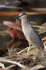 1DM39324 View Large. Black-crowned Night Heron. Kaanapali Maui, Hawaii (E.W. Smit Wildlife.) Tags: ef300mmf28lis ef300mmf28lisusm ef300mmf28lis14x canonef300mmf28lis canonef300mmf28lisusm canonef300mmf28lis14x canonef300mmf28lisusm14x wildanimals wildanimal animal animals tourist tourists telephotolens unitedstatesofamerica usa outdoor outdoors bird birds ocean park parks avian lake canon nature 1dmarkiii canon1dmarkiii canoneos1dmarkiii ef300mmf28lisusm14x wildlife gitzo supertelephotolens heron blackcrownednightheron nightheron canonef14xextenderii canonef14xextender 14x canonef14x kaanapali kaanapalimaui mauihawaii maui rookery island pacificocean hawaii mauimarriottsoceanclub