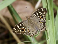 Lemon Pansy (chaz jackson) Tags: junonialemonias lemonpansy nymphalidae nymphalinae butterfly insect vietnam nature