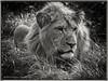 Lyon thinking (daverigleyphotos) Tags: lyon bw olympus penf 75300mm blackpool zoo wildlife cat dangerous sleepy