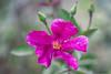 MACRO in ROSSO E VERDE    ----    MACRO in RED AND GREEN (Ezio Donati is ) Tags: macro fiori flowers natura nature colori colors italia italy toscana tuscany cortona
