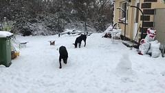Beast of the East / Storm Emma - Ennis, Ireland - March 2, 2018 (firehouse.ie) Tags: k9 dobeys dobey dobies dobie dobes dobe gabbana saxon dog dogs beastoftheeast stormemma snowfall snowday snowstorm snowing snow