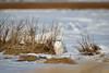 Hidden Snowy (djrocks66) Tags: wildlife nature animals birds raptors owls snowy harrier heron merganser seal harbor snow winter waterfowl fowl ducks flying long island ny canon outdoors hiking bif creatures