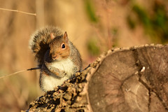Sciurus carolinensis (rdodson76) Tags: sciuruscarolinensis graysquirrel squirrel mammal rodent pest animal wild wildlife nature natural habitat afternoon day warm fur cute adorable environment wood firewood tree bard watching white gray brown fauna
