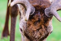 Head to Head (George Plakides) Tags: deer richmondpark head antlers close sigma150600sport