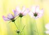 Cosmos (mclcbooks) Tags: flower flowers floral macro closeup cosmos denverbotanicgardens colorado