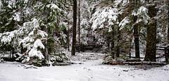 Stormy Forest (rich trinter photos) Tags: mountrainier winter packwood washington unitedstates us landscape snow forest trinterphotos storm longmire