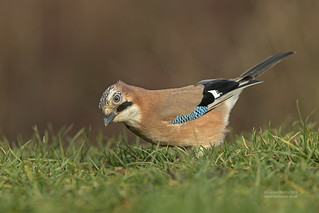 Jay in the grass!