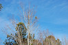 Blue Sky, Trees And A Thin Layer Of Clouds. (dccradio) Tags: lumberton nc northcarolina robesoncounty outdoors outside nikon d40 dslr nature natural tree trees greenery landscape treeline evergreen pine sky bluesky clouds