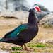 Muscovy Duck - Male