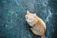 See you around (YUKIHAL) Tags: pentax sp mc macrorevuenon 35mm f28 fujicolor100 135 film fujifilm nega m42 analog cat street