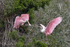 Spoonbill spat (dbifulco) Tags: nature rosp stagustine aggressive alligatorfarmrookery behavior birds florida pink roseatespoonbill wadingbird wild wildlife wings winter