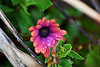 Purple violet and orange (roanfourie) Tags: nikon d3400 nikkor flickr flick explore 70300mm ed dx afp vr dslr southafrica africa randfontein westrand flower flowers floral plant life flora leafes purple violet orange green blue nature naturephotography bokeh dof macro photography raw gimp day outdoors february152018 artinnature art 2018 floraofsouthafrica garden