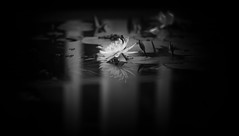 As If It's Your Last by Simon Hadleigh-Sparks (Simon Hadleigh-Sparks) Tags: bw blackandwhite water white pond flora flower lily reflection black beauty contrast monochrome minimalist minimalism nature indoor simonandhiscamera vignette