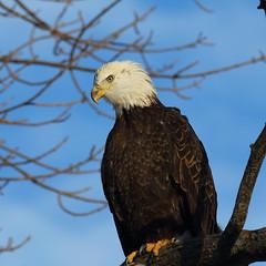 Majestic Bald Eagle_77 (Scott_Knight) Tags: eagle baldeagle perch minnesota mississippi river canon 70200 natural nature blue birdofprey wildlife majestic