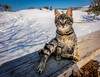 Winter cat (bilusickr) Tags: cat cats animals nature winter snow blue sky croatia