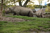 Chester Zoo (792) (rs1979) Tags: chesterzoo zoo chester blackrhino rhino
