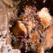 Bare Island anglerfish - Porophryne erythrodactylus 2