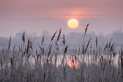 Winter Softness (adrians_art) Tags: reeds plants riverbank rivers water wet winter reflections silhouettes shadows frosty sunrise dawn weather foggy misty sky clouds light dark yellow red gold amber pink black white