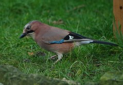 IMGP4898 (Simon Dell Photography) Tags: jay bird large uk garden brown nature wildlife simon dell photography silhouette sheffield s12 hackenthorpe shirebrook valley 2018